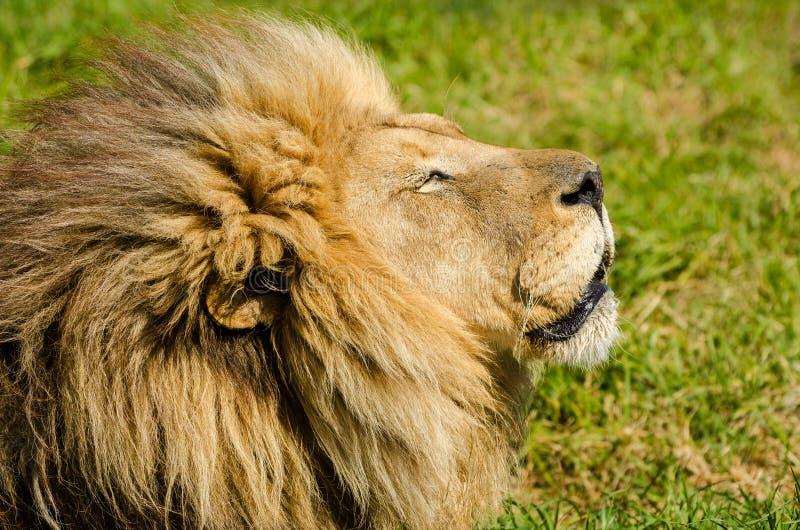 Homem na grama, parque nacional do leão de Kruger, animal do safari de África do Sul fotos de stock royalty free