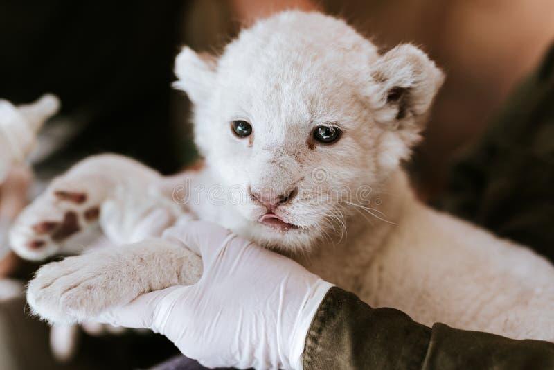 Homem nas luvas brancas que guardam o filhote de leão branco bonito foto de stock