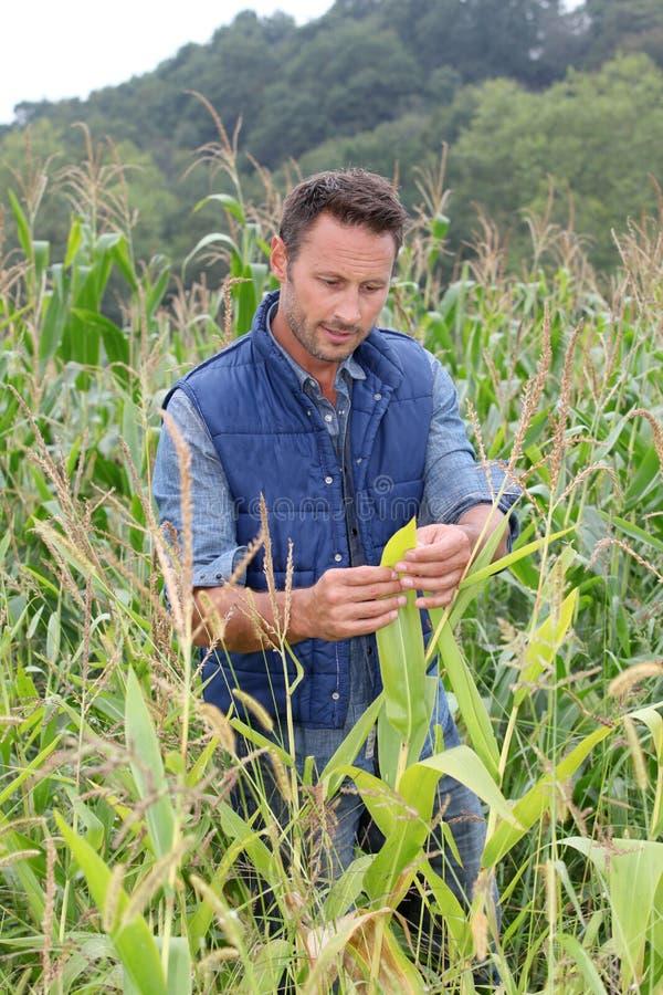 Homem no campo de milho imagens de stock royalty free