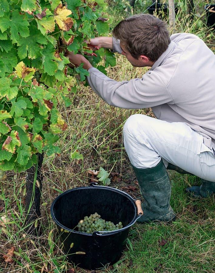 Homem novo que escolhe uvas brancas maduras foto de stock