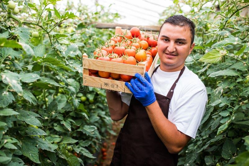 Homem orgânico novo feliz do fazendeiro que leva tomates frescos vermelhos em uma estufa imagens de stock