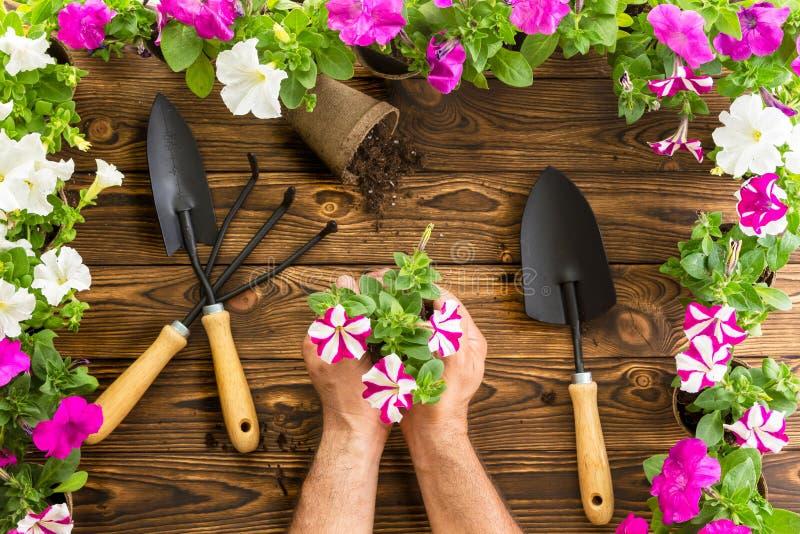 Homem ou jardineiro que guardam um grupo de petúnias da mola fotos de stock royalty free