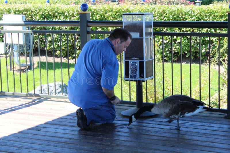 Homem que alimenta gansos de Canadá no RIO foto de stock royalty free