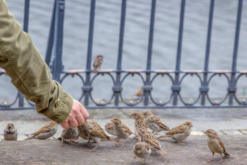 Homem que alimenta um rebanho dos pardais na rua foto de stock royalty free