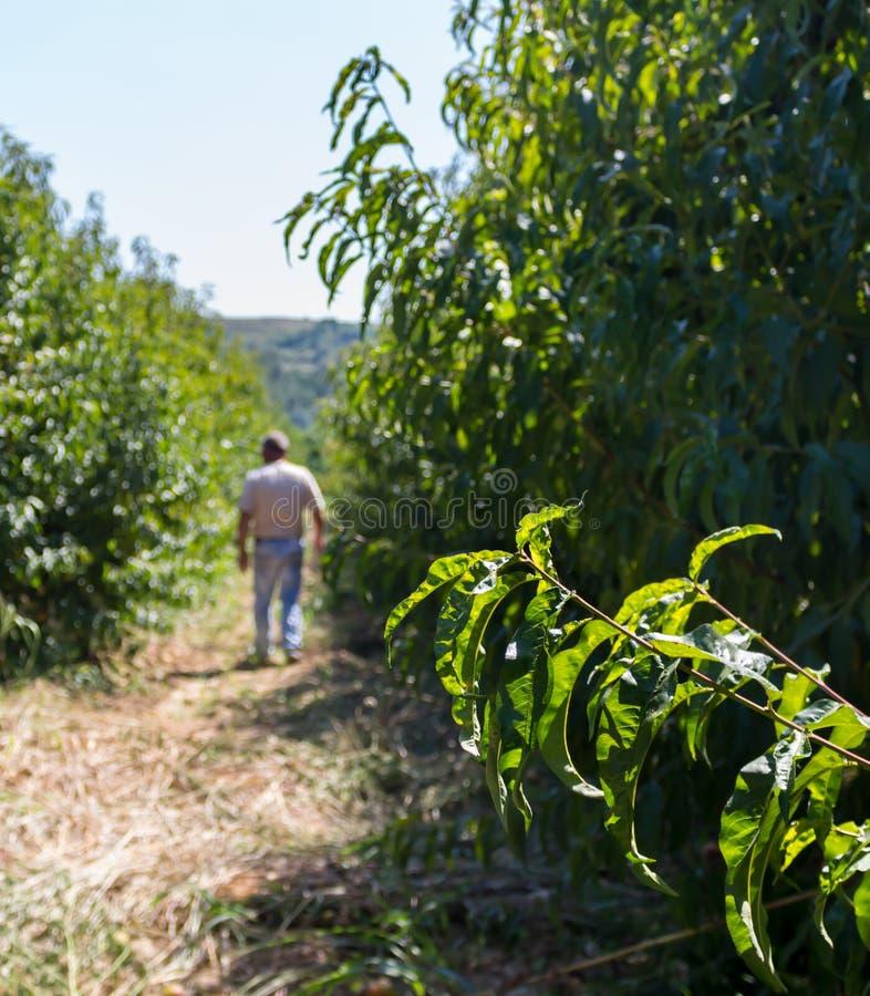 Homem que anda através das árvores de nectarina fotos de stock royalty free