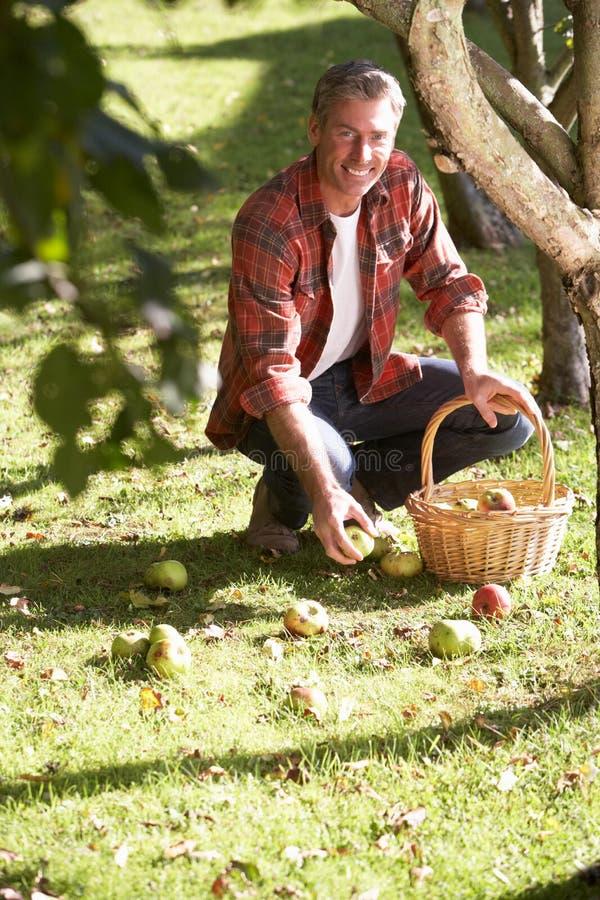 Homem que coleta maçãs fora da terra imagem de stock royalty free
