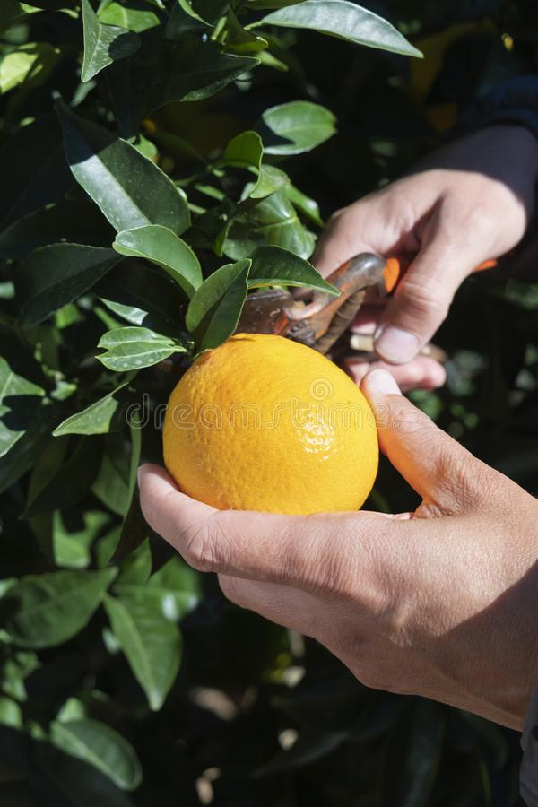 Homem que colhe laranjas de uma árvore foto de stock royalty free