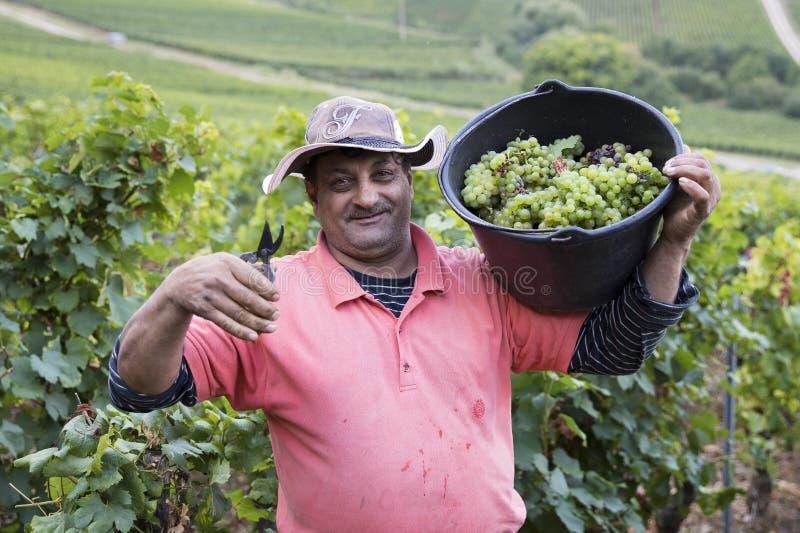 Homem que colhe uvas imagem de stock royalty free