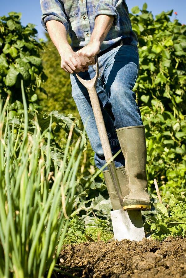 Homem que escava no jardim vegetal fotos de stock