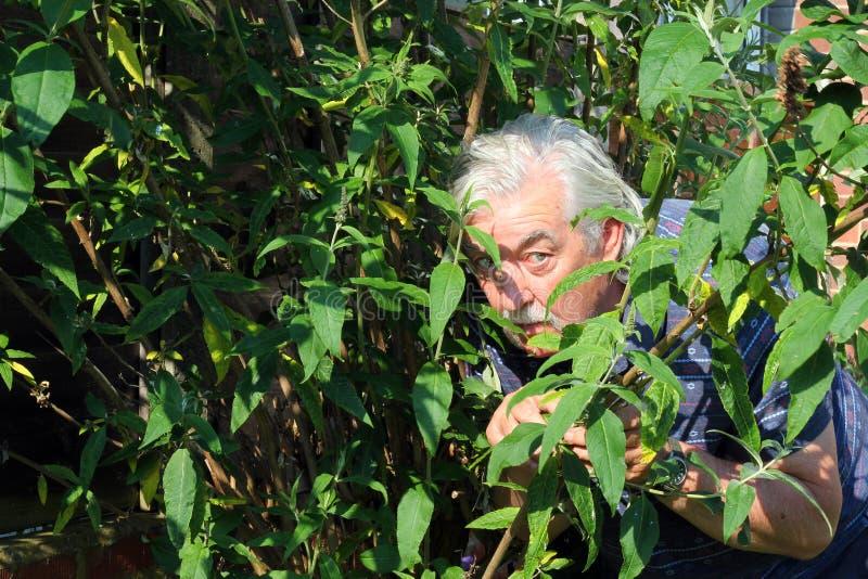 Homem que esconde nos arbustos. foto de stock royalty free
