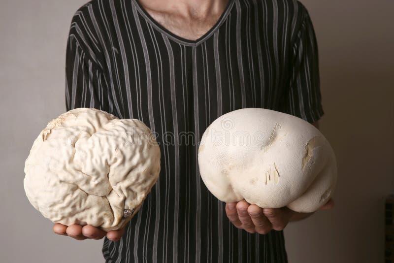 Homem que guarda o puffball gigante de dois cogumelos como o cérebro fotos de stock royalty free