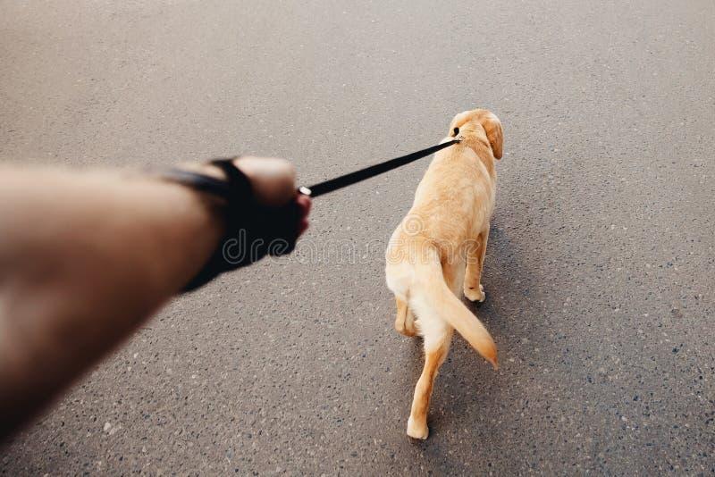 Homem que guarda um cão de Labrador em uma trela um golden retriever que anda ao longo da rua, o conceito do passeio do cão fotos de stock royalty free