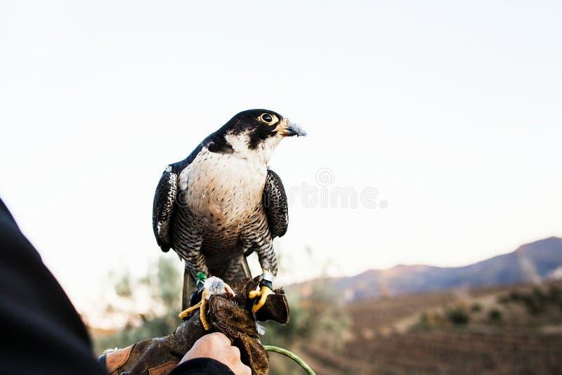 Homem que guarda um falcão antes de usá-lo para caçar pássaros em uma floresta foto de stock