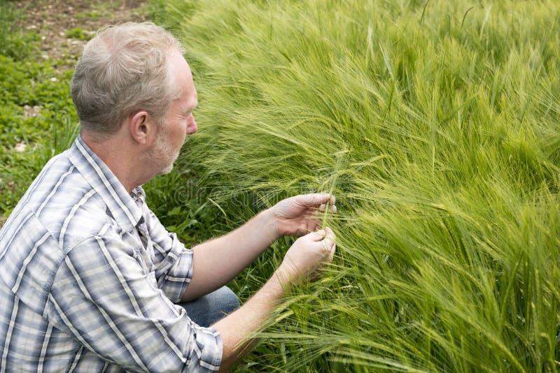 Homem que inspeciona uma planta do trigo em um campo foto de stock