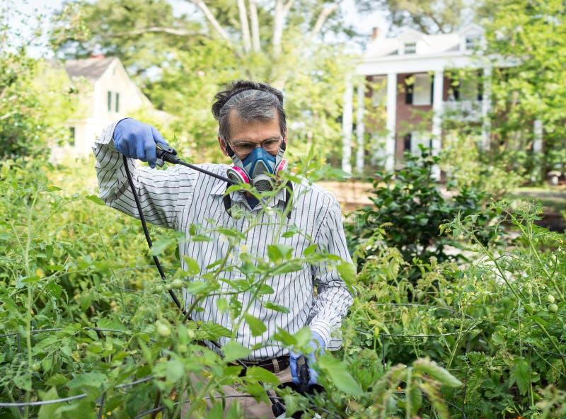 Homem que pulveriza suas plantas de tomate infestadas inseto foto de stock