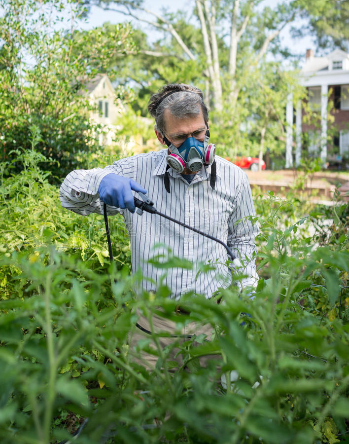 Homem que pulveriza suas plantas de tomate infestadas inseto foto de stock royalty free