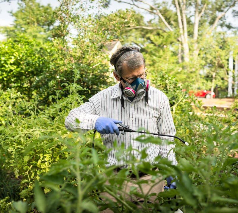 Homem que pulveriza suas plantas de tomate infestadas inseto imagens de stock