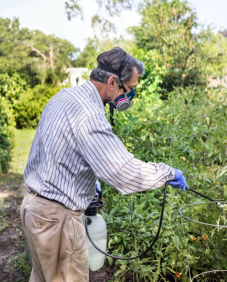 Homem que pulveriza suas plantas de tomate infestadas inseto fotografia de stock