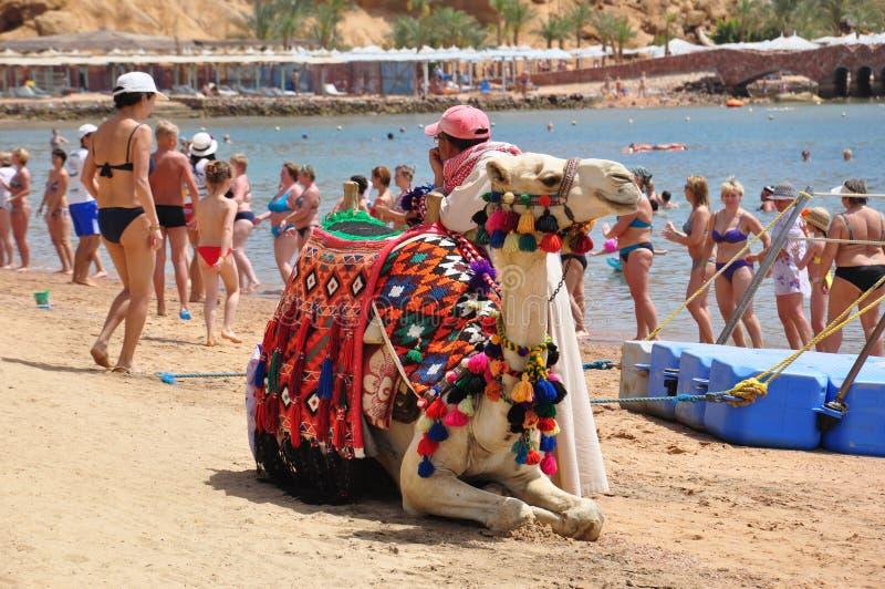 Homem que toma imagens com camelo foto de stock