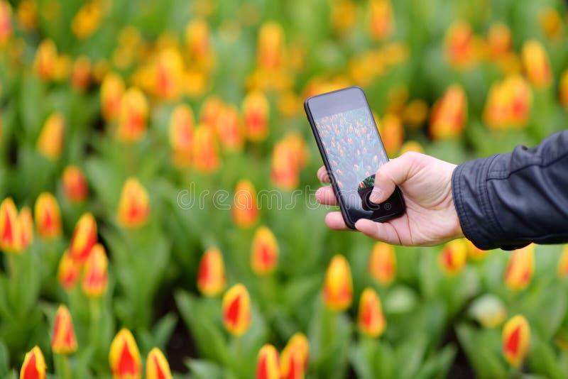 Homem que toma tulipas da foto usando o smartphone no parque de Keukenhof em Países Baixos, close-up Jardim famoso de Europa foto de stock