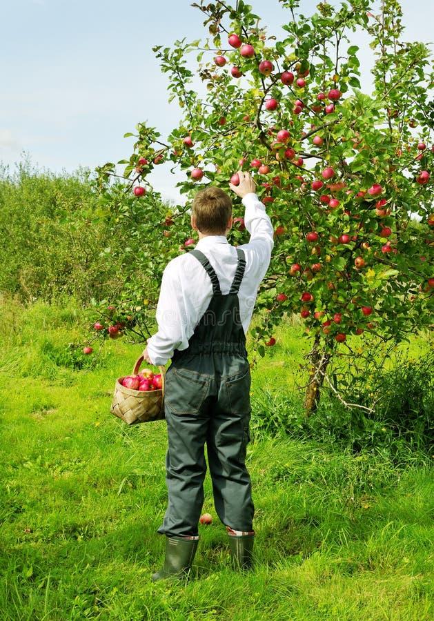Homem que trabalha no jardim da maçã. fotografia de stock