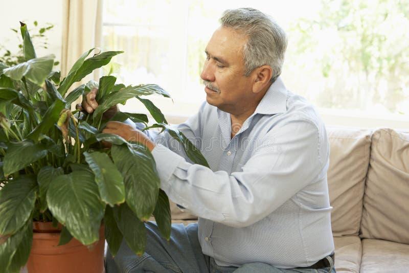 Homem sênior em casa que ocupa do Houseplant fotos de stock royalty free