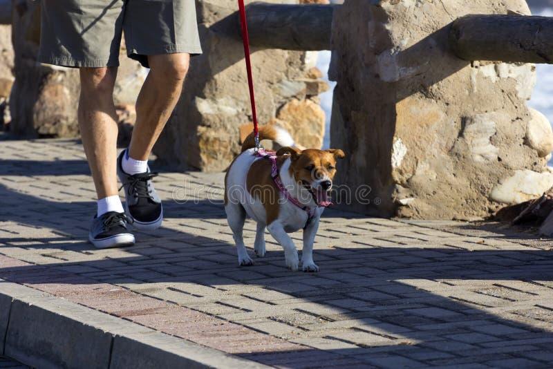 Homem sênior que toma o cão para uma caminhada fotos de stock royalty free