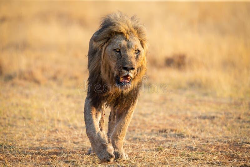 Homem solitário do leão que anda com a caça marrom seca da grama para o alimento imagens de stock royalty free