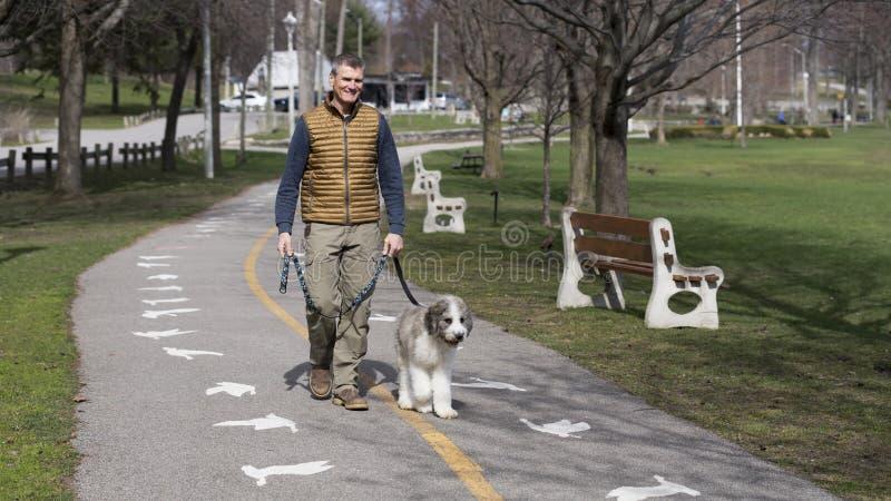 Homem superior apto que anda um cachorrinho da mistura de St Bernard fotos de stock
