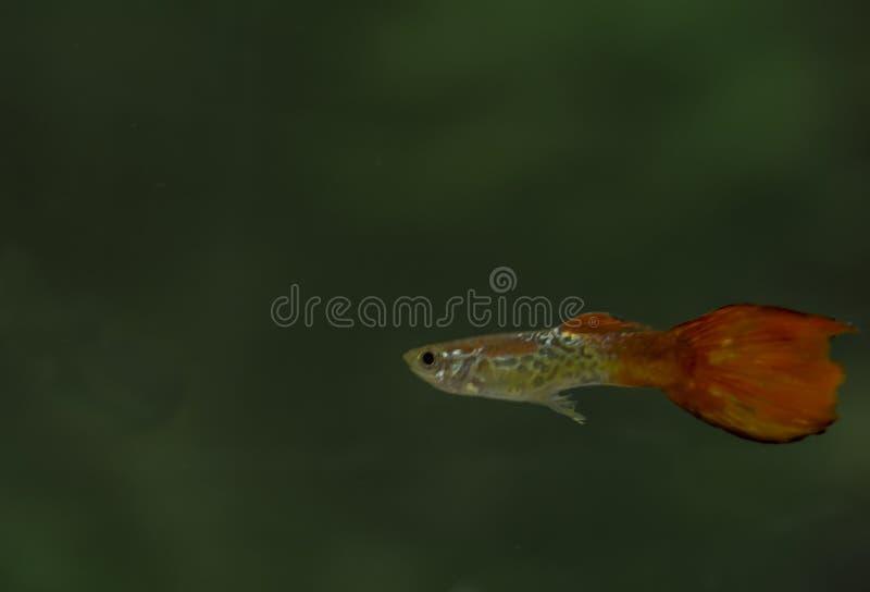 Homem vermelho dos peixes do Guppy em um acquarium imagem de stock royalty free