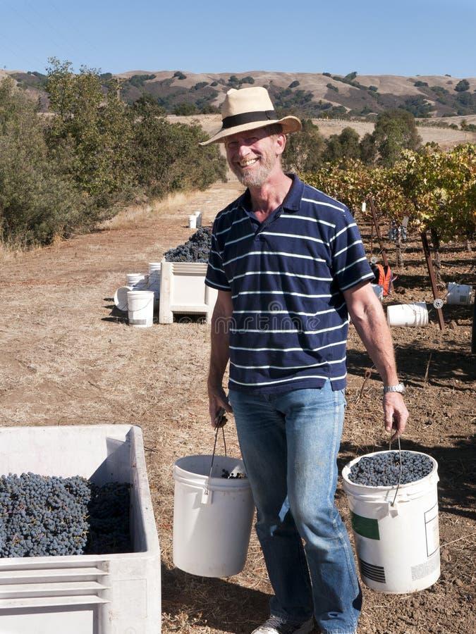 Homem voluntário que trabalha na colheita da uva