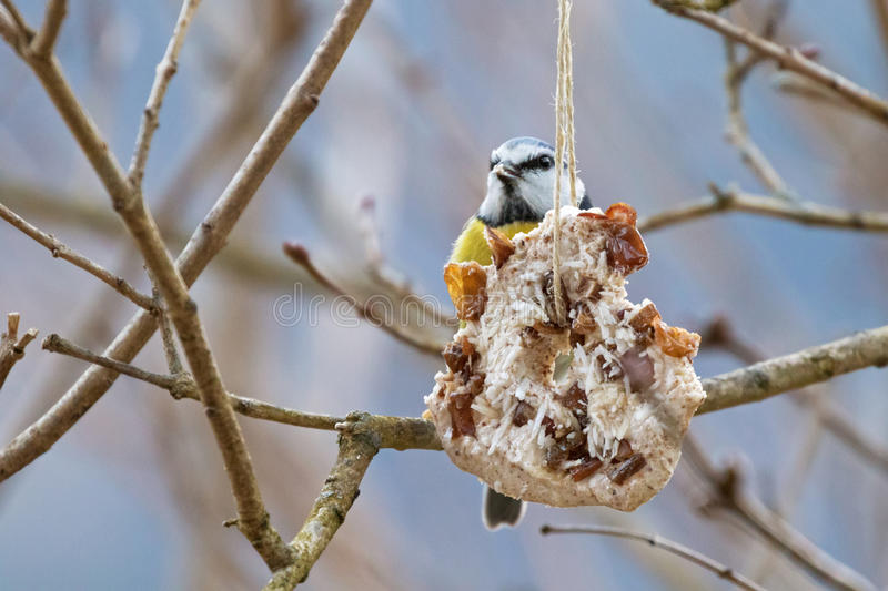 Homemade bird feeder, coconut fat cookie with nut, raisin hanging on tree in winter. With Eurasian blue tit nibbling behind royalty free stock images