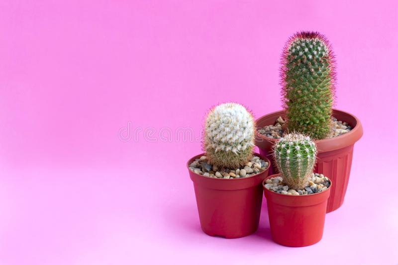 Homemade cacti on pink background. Homemade cacti in plastic pot on pink background. Succulent plants. Mammillaria columbiana, Mammillaria backebergiana and stock photos