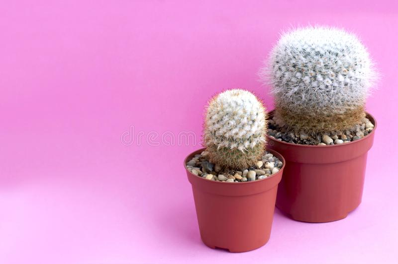 Homemade cacti on pink background. Homemade cacti in plastic pot on pink background. Succulent plants. Mammillaria geminispina and Mammillaria columbiana stock images