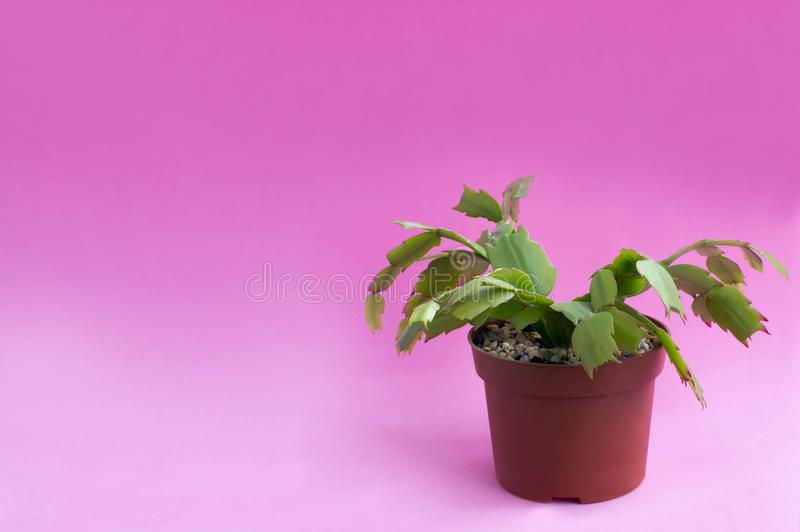 Homemade Christmas cactus on pink background. Homemade Christmas cactus in plastic pot on pink background. Succulent plants. Schlumbergera. Minimal fashionable stock photography