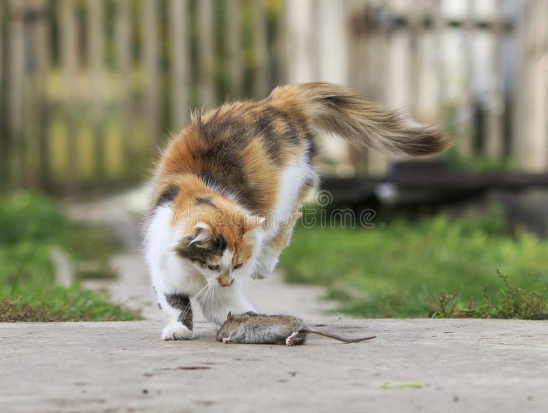 Homemade red cat plays with gray caught a rat jumping high. Clever fluffy homemade red cat plays with gray caught a rat jumping high royalty free stock photo
