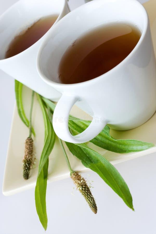 Homemade remedy - herbal plantain tea plantago lanceolata - he royalty free stock photo
