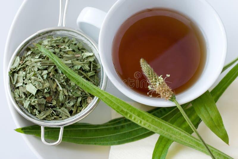 Homemade remedy - herbal plantain tea plantago lanceolata - he stock photo