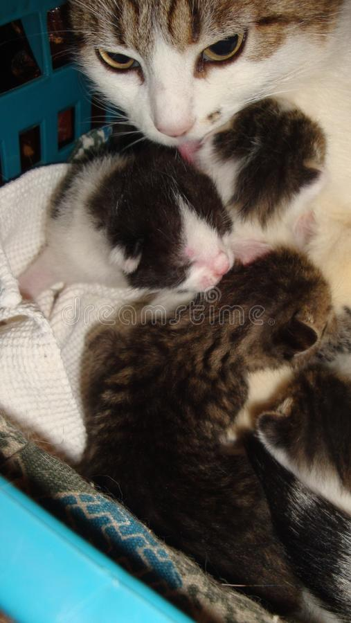 Cat licks her kittens of different colors sitting in the basket. stock photo