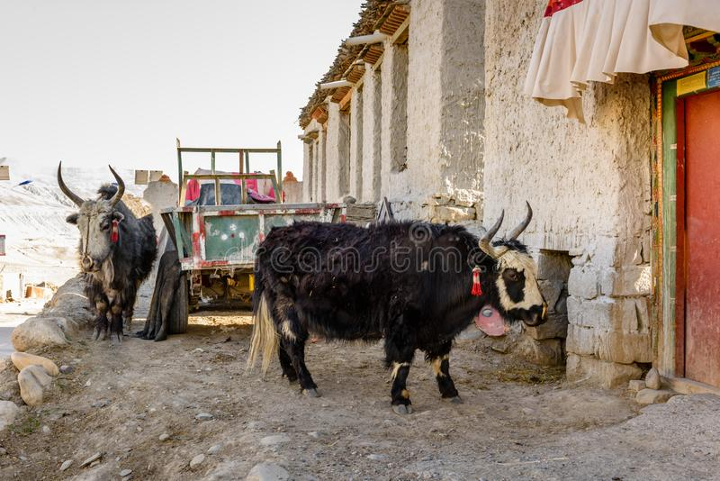 Homemade yaks in a Tibetan village stock image