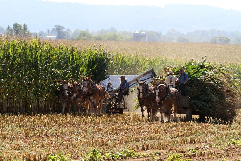 Homens de Amish que colhem o milho fotografia de stock