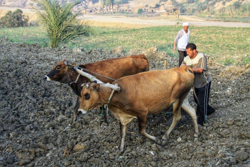 Homens locais que usam vacas para plaughing imagem de stock