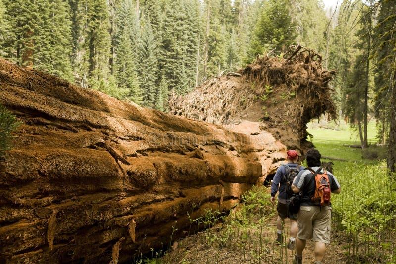 Homens que caminham ao longo da árvore caída do Redwood imagens de stock