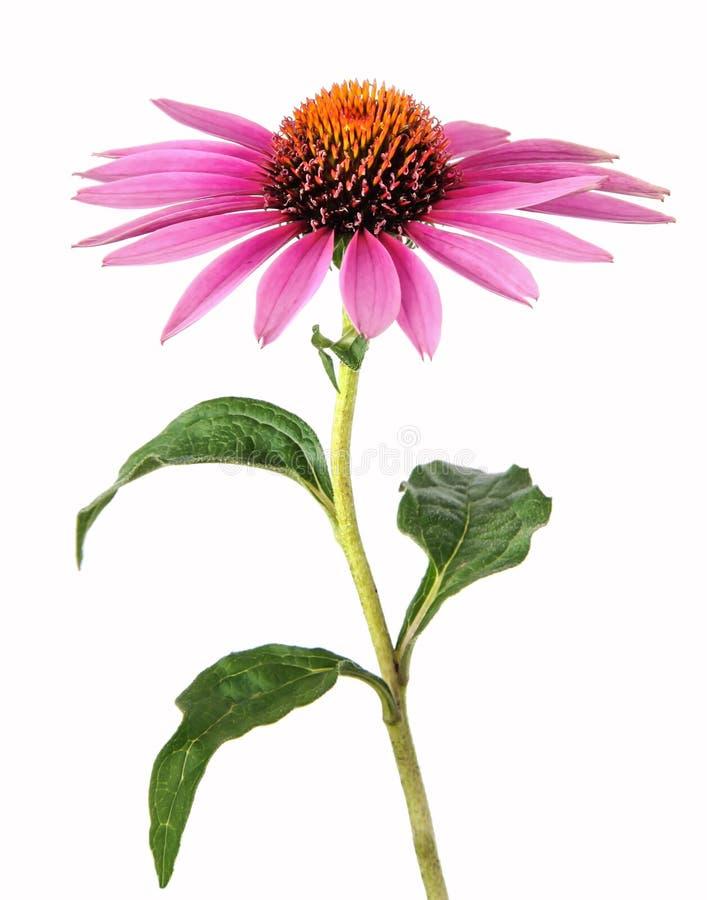 Homeopati med echinaceaen royaltyfri foto