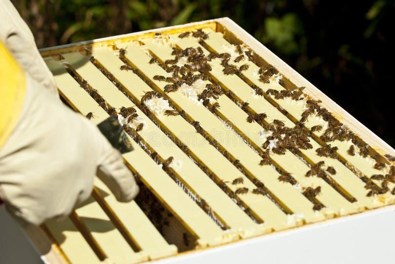 Beekeeper Hobbyist Tending to His Bees stock photography