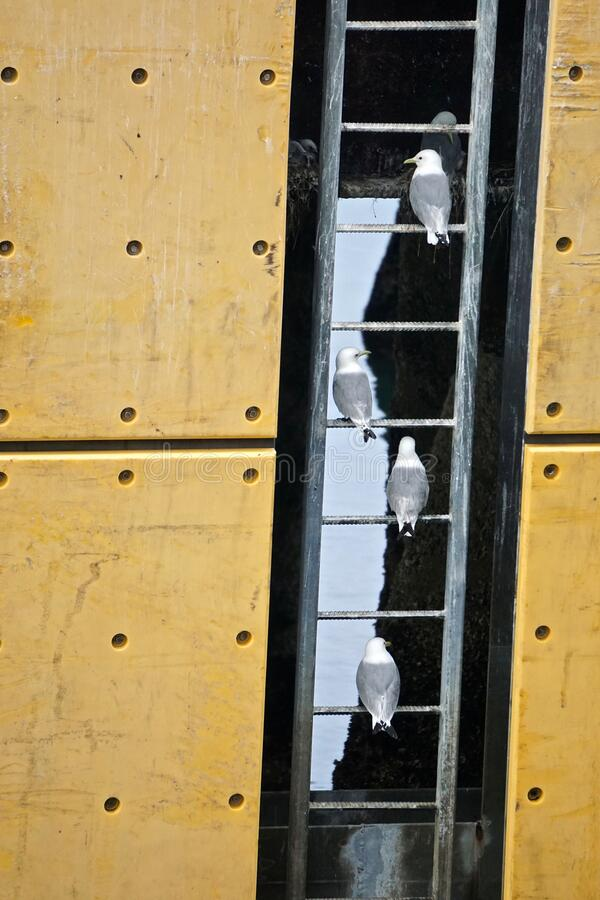 Homer, Alaska: Mew gulls - Larus canus - perch on the rungs of a ladder stock images