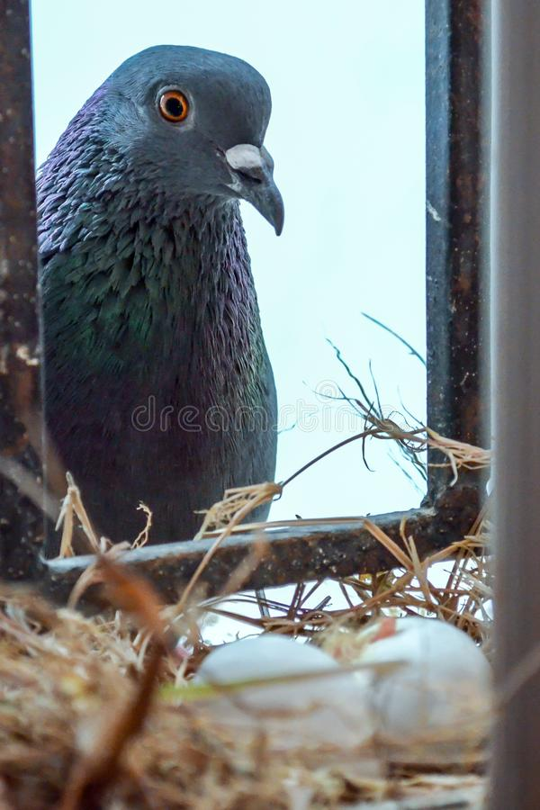 Homing hen Pigeon watching her eggs hatch. In the nest inside the house window royalty free stock photo