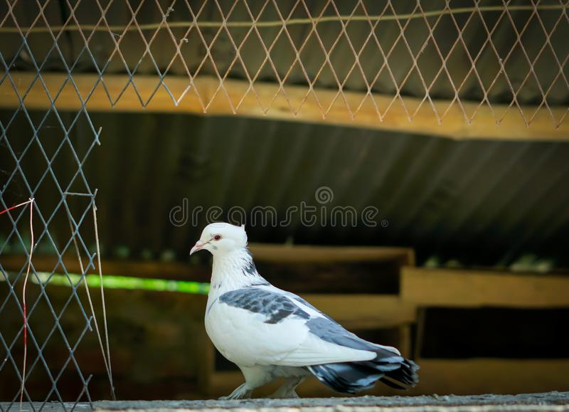 Black white pigeon at door of house. Homing pigeon, carrier pigeon, passenger pigeon, pigeon pea, clay pigeon shooting, wood pigeon, clay pigeon, pigeon-toed stock photo