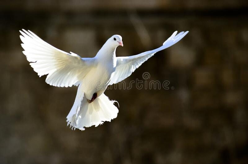 Dove, white pigeon, freedom concept. A free flying white dove isolated on a black background. The symbol of freedom. Peace. Mardin pigeon. Flying White Pigeon/ royalty free stock photos