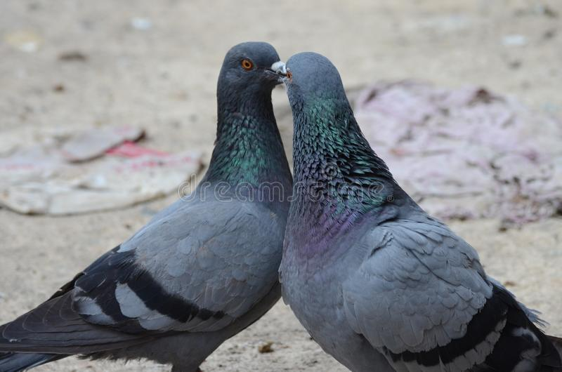 Homing pigeons couples engaged in romance/love. By touching their beaks. The homing pigeons are grey and black in colour with beautiful colored neck stock images